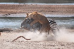 Lioness taking down a Zebra, South Luangwa