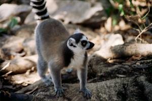 Madagascar Lemur by Steve