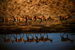 Impala at a watering hole in Chobe