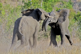 Sabi Sands  elephants fighting
