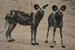 Sabi Sands African wild dogs