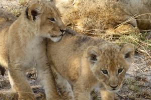 Sabi Sands Game Reserve lion cubs by Regina Hart