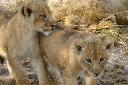 Sabi Sands Game Reserve lion cubs
