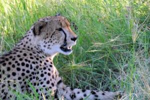 Sabi Sands cheetah by David Berkowitz