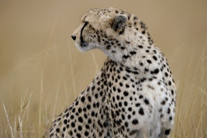 Cheetah on the Kenyan Plains by Ray Morris
