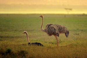 Ostriches near the shores of Lake Nakuru by Ray Morris