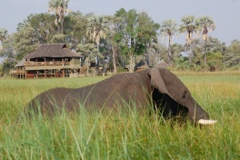 Moremi crossing elephant