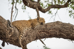 Moremi travel guide leopard