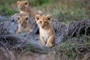 Moremi tour lion cubs
