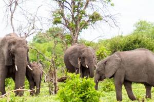Elephants of Chobe by Meraj Chhaya