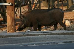 Warthog in Kasane Street by Erwin T