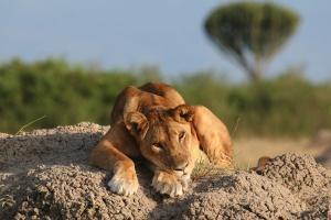 Lion, Uganda by Simon Whitaker on Flickr