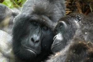 Mountain Gorilla by Gara on Flickr