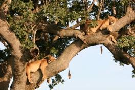 Treetop Lions, Entebbe, Uganda