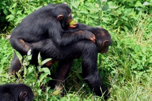 Chimp sanct by Caroline Wardrop