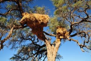 Weaver Bird nests in the Namib Desert by Tscherno on Flickr