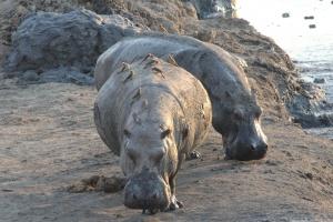 Hwange hippos by Joepyrek