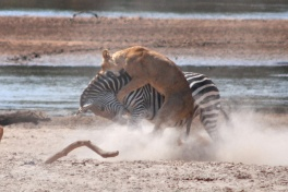 Lioness taking down a Zebra, South Luangwa