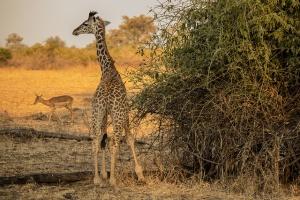 Giraffe by Alex Berger