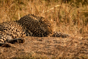 Leopard resting by Alex Berger