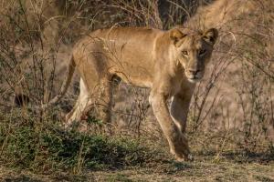Lioness by Alex Berger