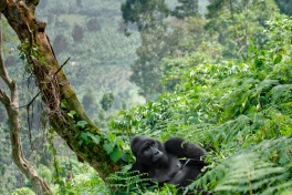 Male gorilla in Bwindi