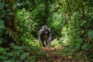 Gorilla in Uganda rainforest