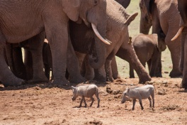 Addo elephants warthogs