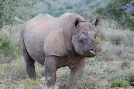 Addo rhino