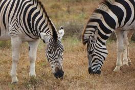 Addo zebras