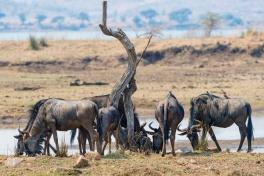 Pilanesberg Wildebeest