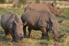 Pilanesberg Rhinos