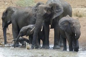 Pilanesberg Elephants by Bernard DUPONT