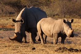 Khama rhinos