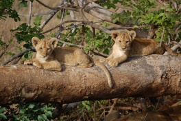 Tsavo West lion cubs