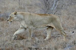 Hlane Royal National Park lioness by Bernard Dupont