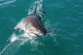 Great white shark in Gasnbaai