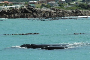 Southern Right Whale & calf by Steve Cornish