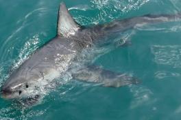 Gansbaai Great White Shark