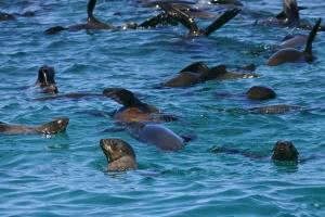 Cape Fur Seals by Bernard Dupont