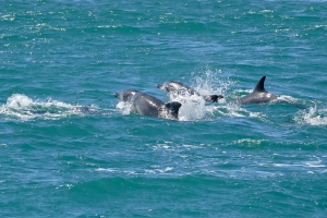Bottlenose Dolphins Gansbaai by Bernard Dupont
