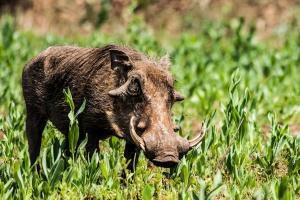 Warthog by Ben Haeringer