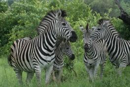 Mlilwane zebras