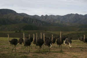 Ostrich Farm by South African Tourism