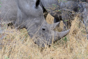 Waterberg rhinos by dconvertini