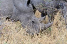 Waterberg rhinos