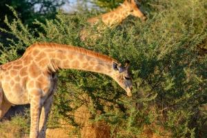 Waterberg Park giraffes by dconvertini