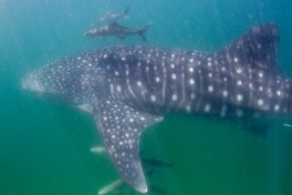Tofo whaleshark