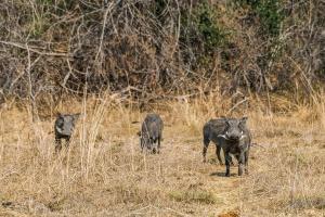Kafue warthogs by Steven dosRemedios