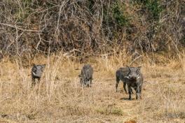 Kafue warthogs